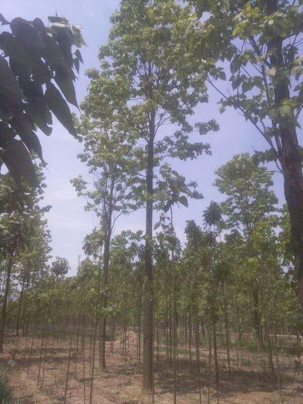 楸树33.JPG