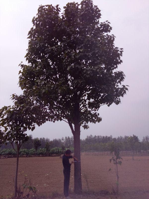 楸树44.JPG