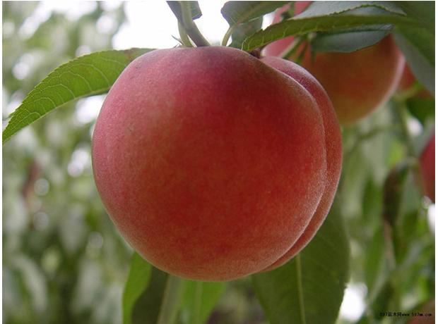 桃树苗8.jpg