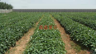 信陽紅薯苗.jpg